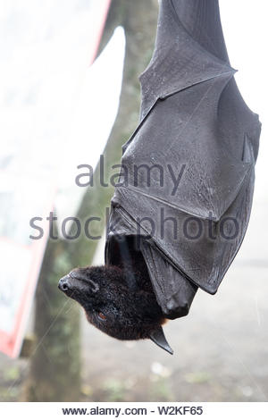 Close up of a Giant bat hanging upside down in Bali, Indonesia - Stock Image