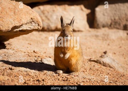 Viscacha sunbathing in Bolivia - Stock Image