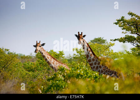 Giraffes, Africa - Stock Image