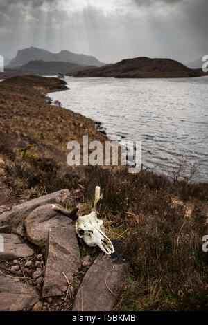 Deer skull in the Scottish landscape close to Poolewe. - Stock Image