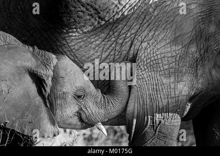 Black and white image of a baby African Elephant, Loxodonta africana, showing affection to its mother, Buffalo Springs - Stock Image