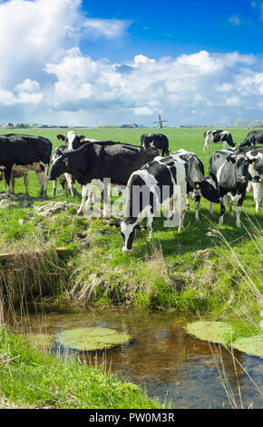 Holstein Friesian cows in a typical Dutch Landscape. - Stock Image