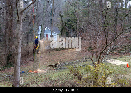 An arborist roped in an old cherry tree uses a chain saw to take it down on a winter's day - Stock Image