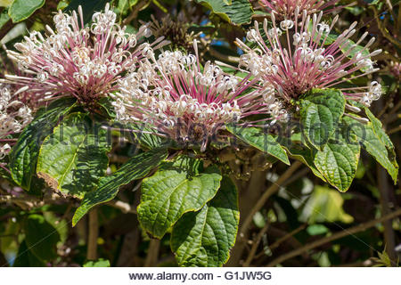 Clerodendrum quadriloculare - bronze-leaved clerodendrum, fire works, Philippine glorybower, shooting star or starburst - Stock Image