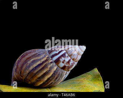 Achatina fulica, the African Giant Snail, on a green leaf, against black background and copy space, close-up, side view. - Stock Image