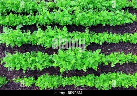 looking down on five rows of green carrot tops growing in straight lines in a vegetable patch inbetween the rows of carrots in fresh brown compost soi - Stock Image