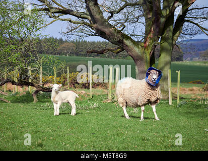 Sheep with their young lambs in a green field in springtime in the English countryside. Livestock, hill farming. - Stock Image