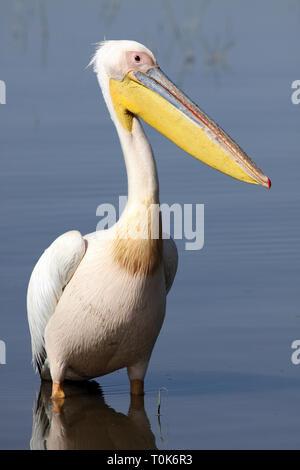 White Pelican Pelecanus onocrotalus - Stock Image
