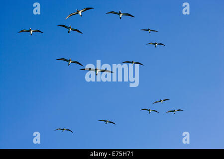 Flock of birds, Australia - Stock Image