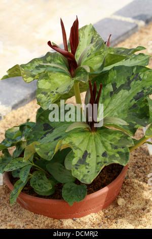 Wake Robin, Trillium Kurabayashii, Melanthiaceae (previously Trilliaceae). Japan. - Stock Image