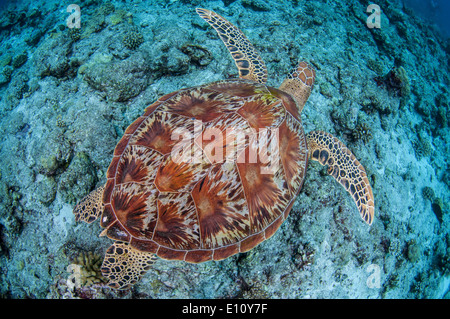 Green sea turtle, Palau (Chelonia mydas) - Stock Image