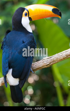 Toucan - Vertical profile from slightly behind (Argentina 2005) - Stock Image