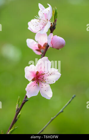 Peach blossom (Prunus persica) with green background, shallow depth of focus - Stock Image
