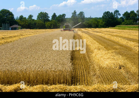 A combine machine is busy to harvest grain in the summr in Germany - Stock Image