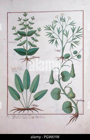 Euphorbia lathyris, Beechwort, Mint and Fig, from 'The Book of Simple Medicines' - Stock Image