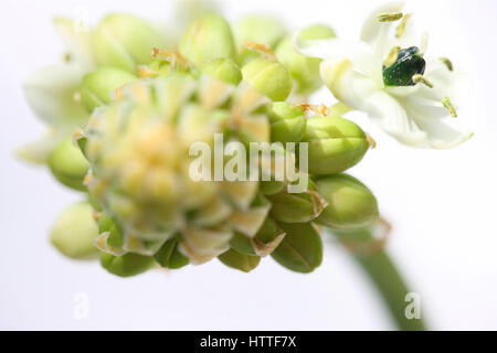 arabian star flower, star of bethlehem still life, a healing herb - 'comforter and soother of pains and sorrows' - Stock Image