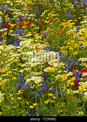 A Californian wild flower meadow with a selection of colourful wild and natural flowers - Stock Image