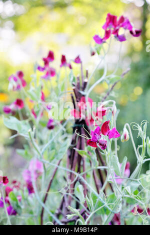 Lathyrus odoratus - Sweet Pea - Climbing on a trellis made of branches, August - Stock Image