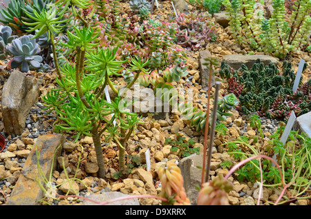 Succulents and cacti in greenhouse of botanical garden of Ghent university, Belgium - Stock Image