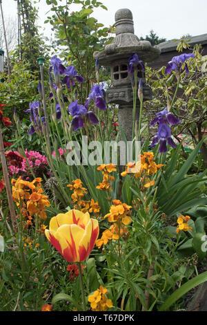 iris, tulips & wallflowers in spring - Stock Image
