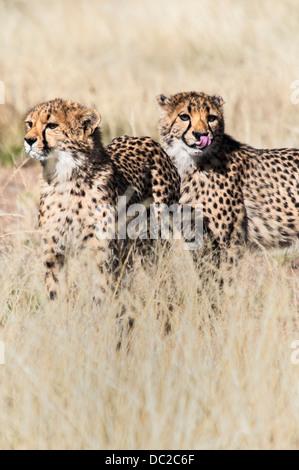 Two Cheetah Cubs, Acinonyx  jubatus, one licking lips, Namibia, Africa - Stock Image