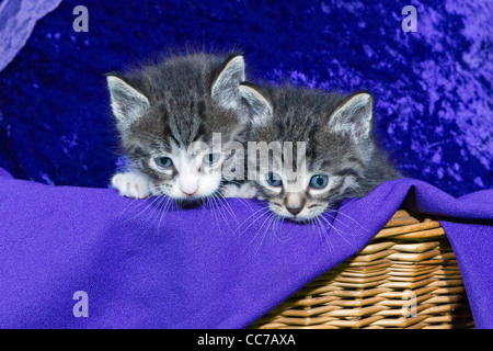 Domestic Cat, Two Kitten Peering out of Basket, Lower Saxony, Germany - Stock Image