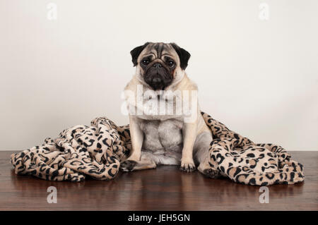 cute pug puppy dog sitting down on wooden floor with fuzzy leopard print blanket - Stock Image