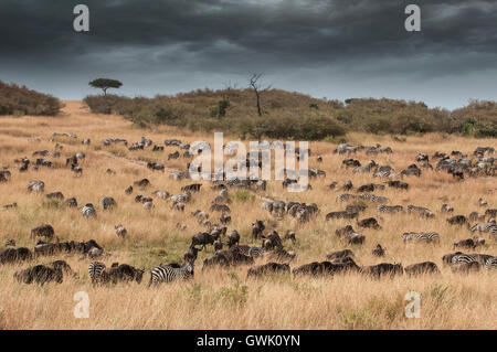Zebras, wildebeest and water buffalo gather under a storm during the annual migration. Kenya, Africa. - Stock Image