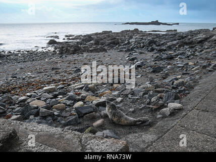 Mousehole, Cornwall, UK. 18th Feb 2019. This seal pup was found virtually on the public footpath on the rocky shoreline at Mousehole this morning. The path and rocky beach are popular with dog walkers, so local rescue agencies have been notified . Credit: Simon Maycock/Alamy Live News - Stock Image
