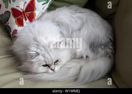Tiffany or Chantilly Cat - Stock Image
