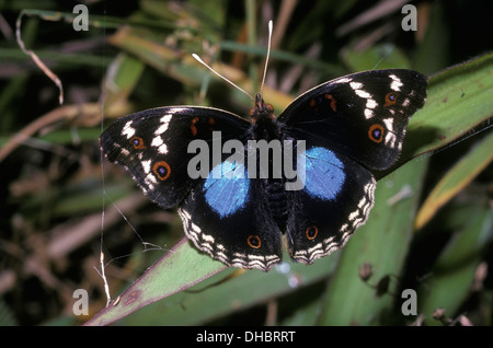 Blue pansy butterfly (Precis / Junonia oenone epiclelia: Nymphalidae) Madagascar - Stock Image