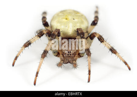 A Four-spot orbweaver (Araneus quadratus) on white background. Four-spot orbweavers are part of the family Araneidae - Stock Image