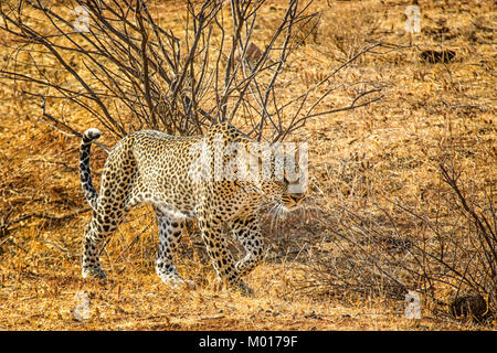 African Leopard, Panthera pardus, hunting, stalking, Buffalo Springs Game Reserve, Samburu, Kenya, East Africa - Stock Image