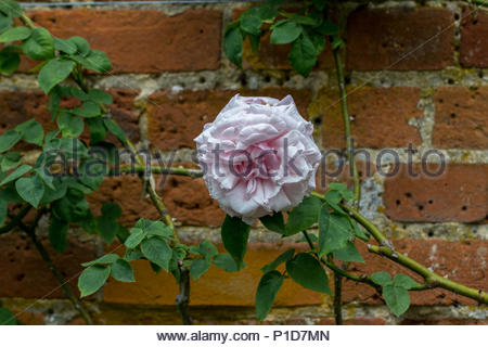 A white & lilac climbing rose against a wall, variety unknown. - Stock Image