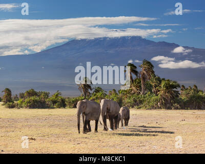 Family group of African elephants walking out from the cover of palm trees with the dramatic back-drop of Mount - Stock Image
