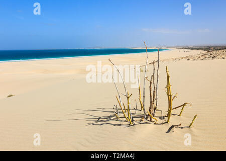 Sparse vegetation and sand dunes on beautiful white sand beach. Praia de Chaves, Rabil, Boa Vista, Cape Verde Islands, Africa - Stock Image