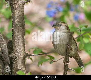 Closeup of a female house sparrow perched on a tree branch. - Stock Image