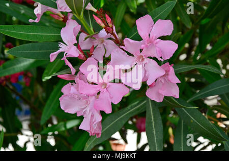 A close up of the Oleander nerium growing wild in the Cyprus countryside - Stock Image