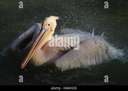 Great white pelican bathing Pelecanus onocrotalus - Stock Image