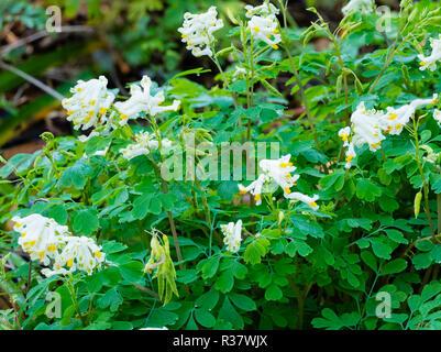 Yellow tipper white flowers of the long bloming, ferny foliaged perennial, Corydalis ochroleuca - Stock Image