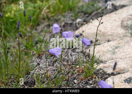 Harebells (Campanula rotundifolia) growing in the shelter of a rock in Arctic tundra. Hvalsoy, Qaqortoq, Kujalleq, - Stock Image