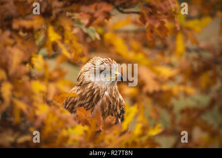 Red kite, Milvus milvus, perched in autumnal oak tree amid yellow and orange colloured leaves - Stock Image