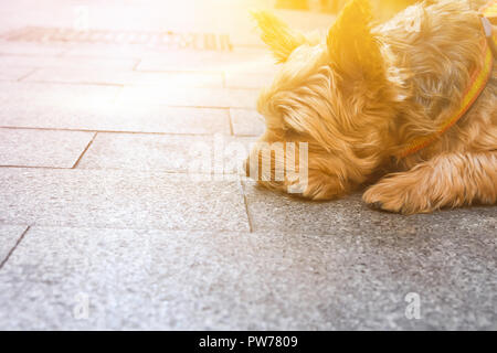 Cute yorkshire dog on leash lying on pavement in the city waiting for the owner. Sad face expression closed eyes. Friendship fidelity togetherness con - Stock Image