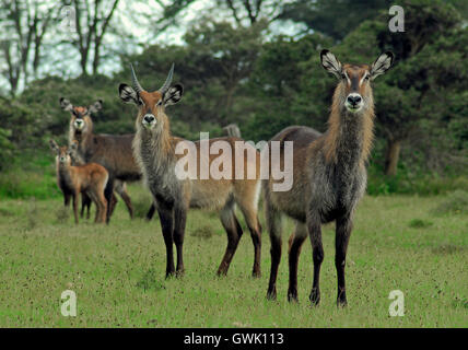 A family of water bucks looking at the camera. Lake Naivasha, Kenya. - Stock Image