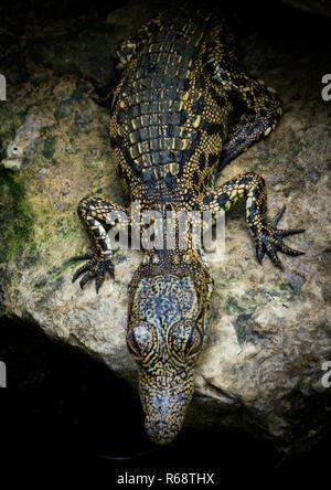 Crocodile on a rock living in captivity , Benguela Province, Catumbela, Angola - Stock Image