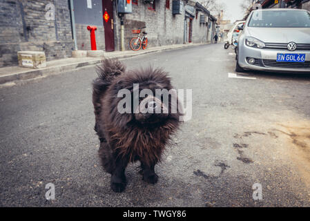 Dog in traditional hutong residential area in Dongcheng district of Beijing, China - Stock Image