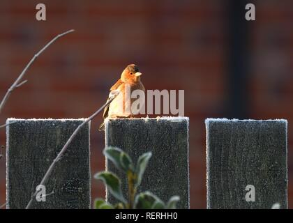 Glasgow, Scotland, UK, . 23rd, January, 2019. UK Weather: A chaffinch (Fringilla coelebs) gathers warmth from the morning sunshine sitting on a frosty garden fence in Glasgow, Scotland, UK, Europe - Stock Image