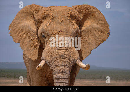 Facial portrait of large African Elephant bull.  Head shot featuring ear face and large tusks - Stock Image