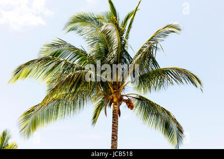 Palm tree, palm treetop, coconut Palm tree, Arecaceae, top of palm tree, leaves, tree, trees, sky, - Stock Image