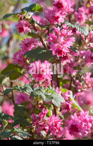 Ribes sanguineum in flower, spring UK - Stock Image